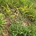 Solidago pinetorum - Photo (c) jptuttle, todos los derechos reservados