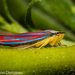 Red-banded Leafhopper - Photo (c) Gordon Dietzman, all rights reserved