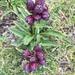Gentiana purpurea - Photo (c) Anita, todos los derechos reservados