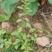 Lipandra polysperma - Photo (c) Tig, כל הזכויות שמורות