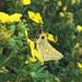 Hesperia assiniboia - Photo (c) elanmarsall, todos los derechos reservados