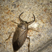 American Giant Water Bug - Photo (c) Chris Kenyon, all rights reserved