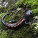 Isthmura gigantea - Photo (c) Abel Hernandez, todos os direitos reservados