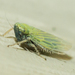 Black-faced Leafhopper - Photo (c) treichard, all rights reserved, uploaded by Timothy Reichard