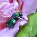Cerulean Orchid Bee - Photo (c) Ignacio A. Rodríguez, all rights reserved