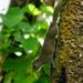 Callosciurus pygerythrus - Photo (c) Rejoice Gassah, todos los derechos reservados