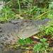 Saltwater Crocodile - Photo (c) Heather Hawk, all rights reserved