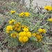 Dune Tansy - Photo (c) brandon lee, all rights reserved