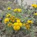Tanacetum bipinnatum - Photo (c) brandon lee, todos los derechos reservados