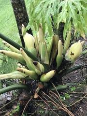 Philodendron bipinnatifidum image
