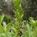 Lobelia polyphylla - Photo (c) Javier Conejeros Gastó, όλα τα δικαιώματα διατηρούνται