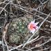 Mammillaria thornberi thornberi - Photo (c) Alberto Ayón, todos los derechos reservados