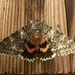 Once-married Underwing - Photo (c) farleysullivan, all rights reserved