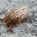 Variegated June Beetle - Photo (c) Lincoln Durey, all rights reserved