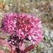 Hylotelephium telephium purpureum - Photo (c) Andrey Zhukov, todos los derechos reservados