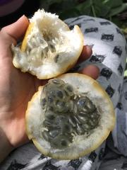 Passiflora ligularis image