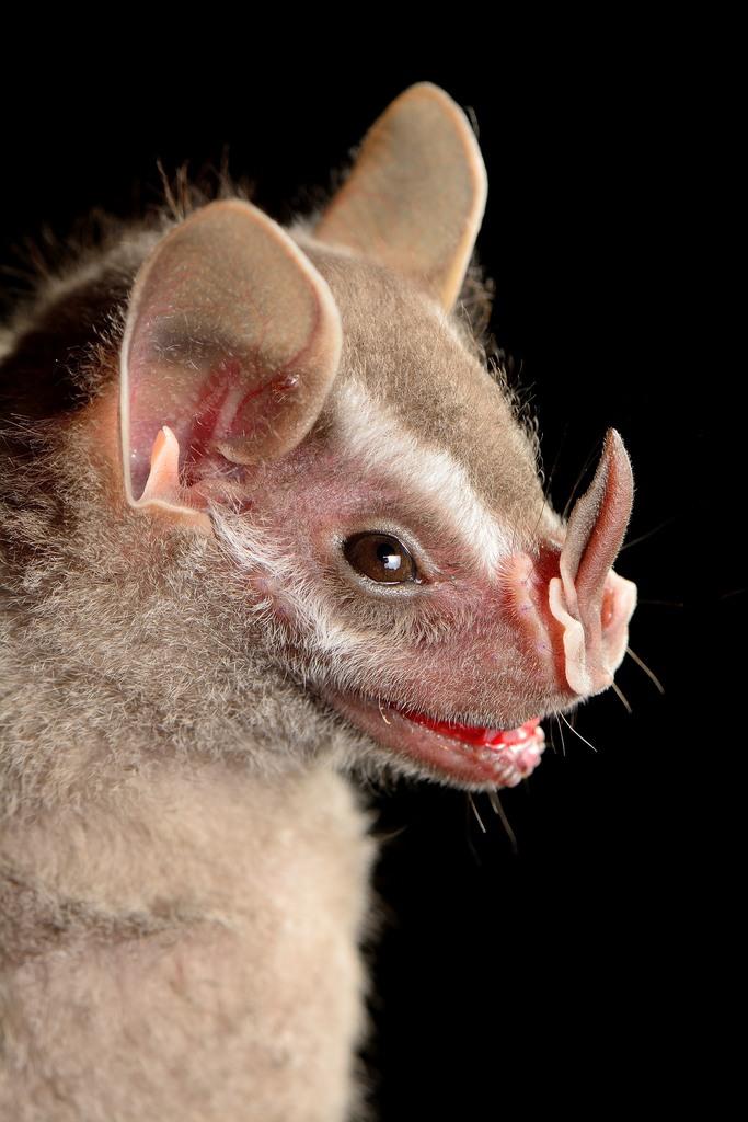 & Brown Tent-making Bat (Uroderma magnirostrum) · iNaturalist.org