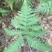 Phegopteris hexagonoptera - Photo (c) cory_hale, kaikki oikeudet pidätetään