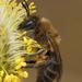 Colletes cunicularius - Photo (c) Henk Wallays, όλα τα δικαιώματα διατηρούνται