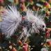 Dasymutilla gloriosa - Photo (c) Nathan Taylor, כל הזכויות שמורות