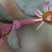 Euphorbia chaetocalyx triligulata - Photo (c) Nathan Taylor, todos los derechos reservados