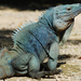 Grand Cayman Blue Iguana - Photo (c) David J. Ringer, all rights reserved