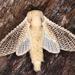 Morpheis strigifer - Photo (c) gernotkunz, todos los derechos reservados