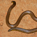 Elliot's Earth Snake - Photo (c) Hari, some rights reserved (CC BY-NC-ND)
