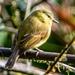 Mosquero Amarillo - Photo (c) randyvickers, todos los derechos reservados