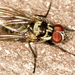 Anthomyia Pluvialis Section - Photo (c) Richard Bunn, all rights reserved