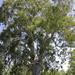Eucalipto Australiano Rojo - Photo (c) anonymous, algunos derechos reservados (GFDL)