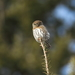Pacific Northern Pygmy-Owl - Photo (c) Logan A.W. Lalonde, all rights reserved