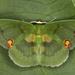 Rhodochlora brunneipalpis - Photo (c) gernotkunz, all rights reserved
