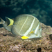 Whitespotted Surgeonfish - Photo (c) David R, some rights reserved (CC BY-NC)