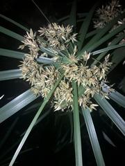 Cyperus involucratus image