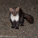 Stone Marten - Photo (c) Ben, all rights reserved