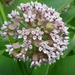 Common Milkweed - Photo (c) Maria Dunlavey, all rights reserved