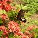 Papilio nephelus chaonulus - Photo (c) Chen-Yao Lin, todos los derechos reservados