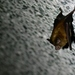 Formosan Lesser Horseshoe Bat - Photo (c) Chen-Yao Lin, all rights reserved