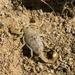 Hadrurus arizonensis pallidus - Photo (c) lacey underall, כל הזכויות שמורות