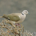 African Collared Dove - Photo (c) Andrew Cauldwell, some rights reserved (CC BY-NC)