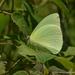 Mariposa Azufre Statira - Photo (c) Juan Carlos Garcia Morales, todos los derechos reservados