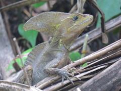 Basiliscus vittatus image