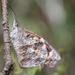Mariposa Pinocho - Photo (c) carlos mancilla, todos los derechos reservados