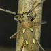 Longhorn Beetles - Photo (c) Diego B, some rights reserved (CC BY-NC-SA)