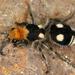 Hormiga de Terciopelo - Photo (c) gernotkunz, todos los derechos reservados