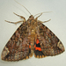 Betrothed Underwing - Photo (c) Bill Keim, all rights reserved