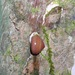 Helicina amoena - Photo (c) biosam, todos los derechos reservados, uploaded by Sam McNally