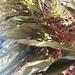 Microgramma percussa - Photo (c) Juliana Lins, todos los derechos reservados