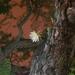 Selenicereus validus - Photo (c) P Gonzalez Zamora, todos os direitos reservados